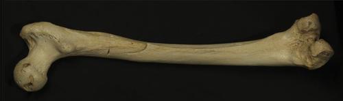 Este fémur, de donde se extrajo la muestra de ADN, tiene 400 mil años.