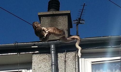 La boa se encontraba en el techo de la casa y al ver que se acercaban, quiso huir.