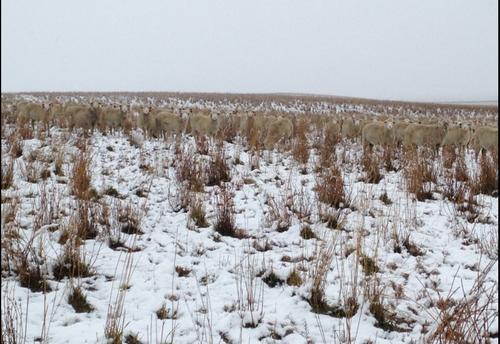 Las ovejas se confundían con el pasto y la nieve que afecta varias regiones en Canadá.