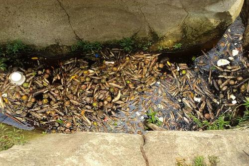 Una gran cantidad de peces murieron en el río La Paz debido al desastre ecológico. (Foto: El diario de Hoy)
