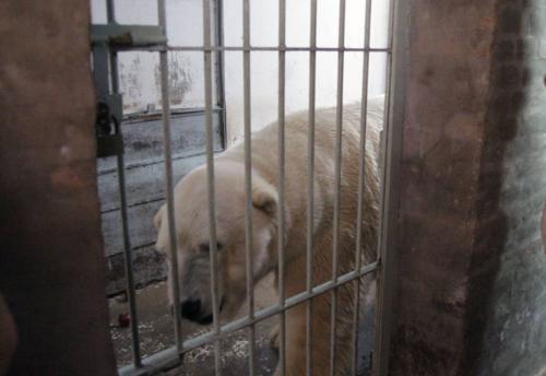 Una de las últimas fotos del oso polar Arturo. (Foto: El Clarín)