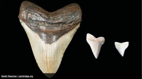 Estos son los dientes de la criatura marina, ya desaparecida, que inspiraron los mitos de los mayas. (Foto: Sarah E. Newman/Cambridge.org)