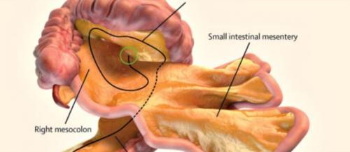 El mesenterio es el órgano responsable de unir el intestino a la pared abdominal. (Foto: Lancet)
