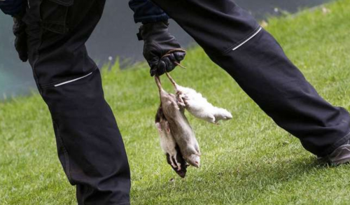 Los miembros de la seguridad retiraron las ratas del terreno de juego. (Foto: Olé)