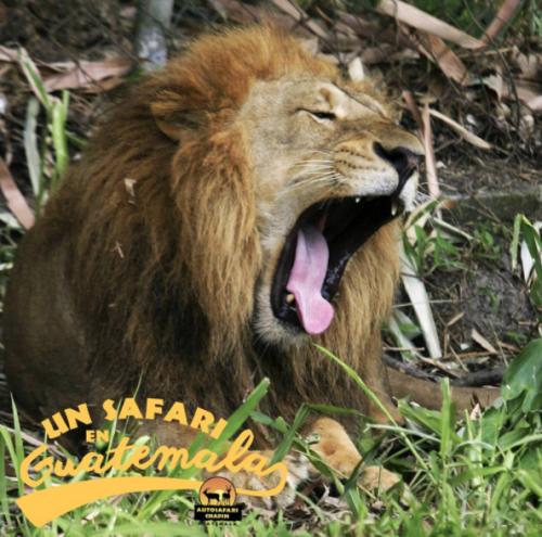 Los leones son de las especies favoritas de los visitantes. (Foto: Auto Safari Chapín/Facebook)