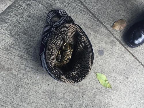 La serpiente fue localizada por personas en la zona 10, quienes intentaron matarla y otro grupo la defendió.  (Foto:  Twitter)