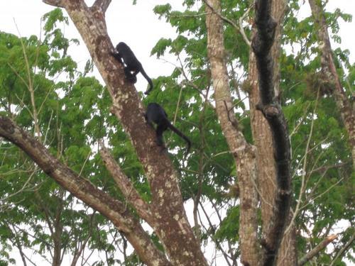 La imagen muestra monos araña que viven en los árboles del bosque que rodea el sitio, en Alta Verapaz.