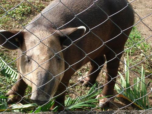 Este Tapir aparece en las fotografías del perfil de Facebook del hotel Santa Isabel, pero no aparece en los registros de Conap. El Tapir es una especie en peligro de extinción. (Foto: Facebook)
