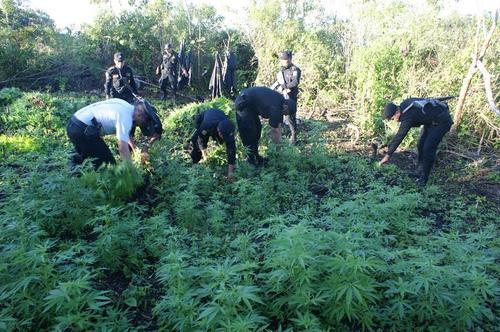 En el terreno donde la Policía encontró la marihuana no había nadie al cuidado de las plantaciones. Foto:PNC/Soy502