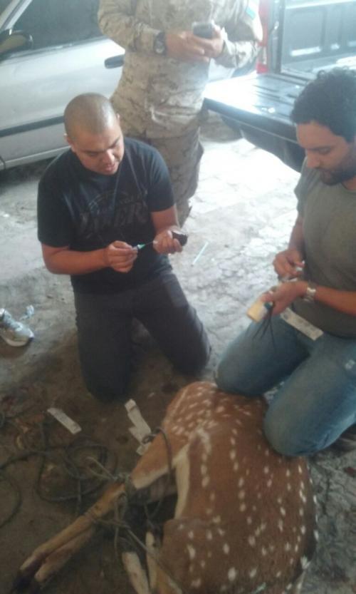 Expertos de Conap trasladaron al ciervo a las instalaciones para una evaluación. (Foto: PNC)
