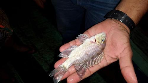 Esta especie estaba ya en riesgo de desaparecer, y fue encontrada entre los miles de peces muertos en el río La Pasión. (Foto: Cortesía Conap)