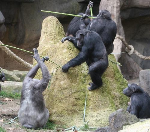 Los chimpancés cooperan entre sí para obtener comida, utilizando palos como herramientas. (Foto: Zoológico de Barcelona).