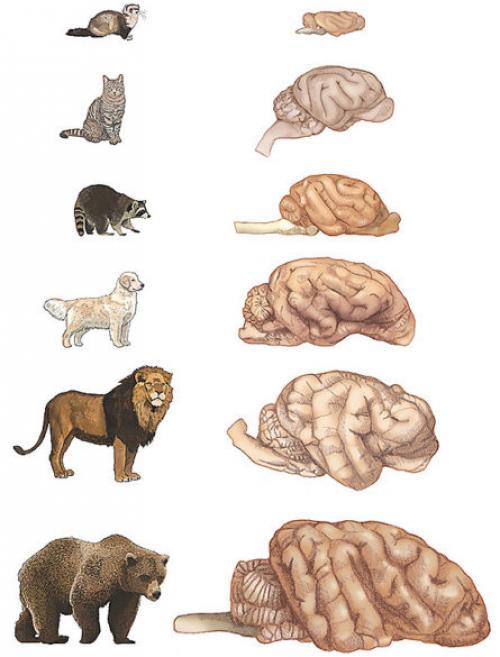 Según el estudio, este es el tamaño del cerebro de algunos animales objeto de estudio. (Imagen: Universidad Vanderbilt)