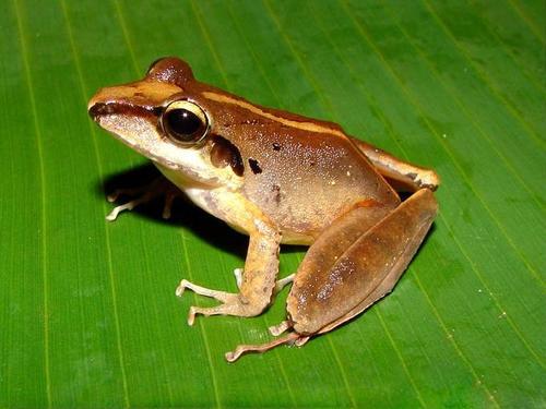 El Craugastor myllomyllon guatemalteco también desapareció. Era similar a este espécimen. (Foto: Wikipedia)