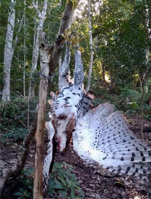 El águila fue abandonada en el bosque tras haber sido asesinada. (Foto: Francisco Asturias)