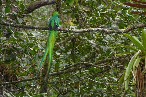 Los quetzales se movían entre las ramas de un árbol a las afueras de la reserva. (Foto: Ronaldo Robles)