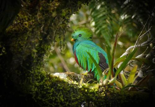 Por varios minutos, los visitantes apreciaron el coqueteo de los quetzales. (Foto: Ronaldo Robles)
