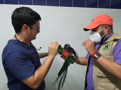 Un vecino encontró el ave en un árbol de su hogar, lo rescató y lo entregó a las autoridades. (Foto: CONAP)