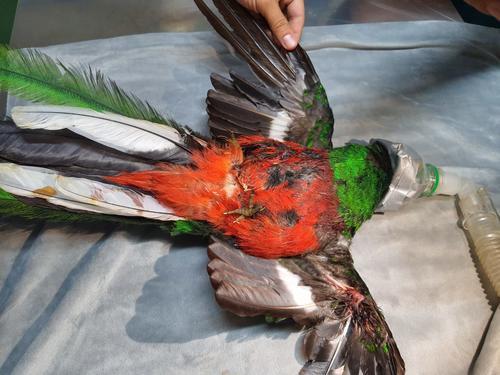 El ave tenía una fractura severa en una de sus alas y tenía días de estar herido. (Foto: CONAP)