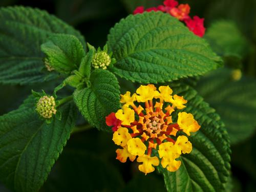 Flor de la Lantana. (Foto: Alvesgaspar)