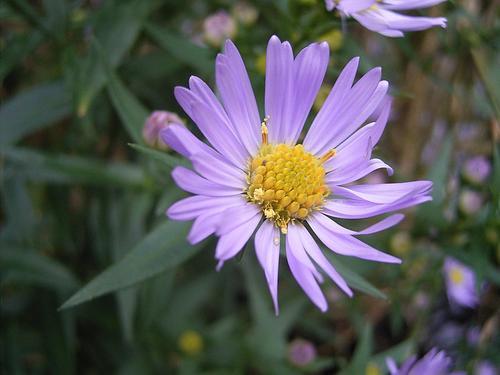 Adteraceae. (Foto: TeunSpaans)