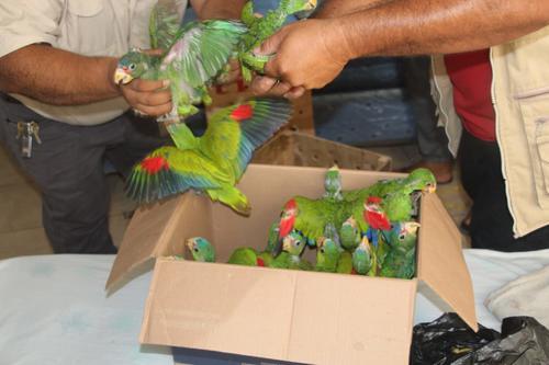 Los loros estaban atrapados dentro de una caja de cartón. (Foto: PNC)