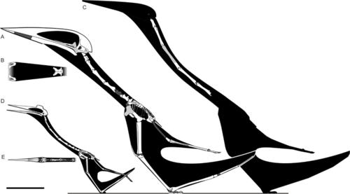 Los fósiles encontrados lograron determinar el largo de los cuellos de los Pterosaurios Azhdarchidae