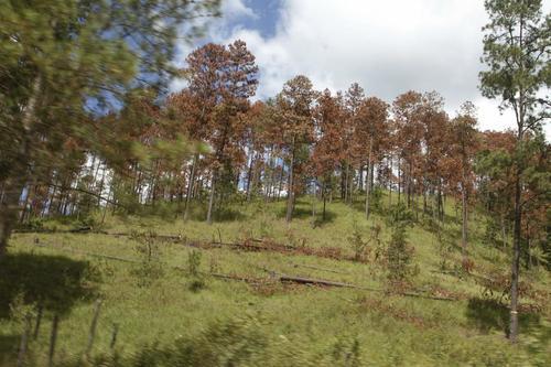 Las hojas de los pinos infectados se van poniendo de un color rojizo. (Foto: Laprensa Honduras)