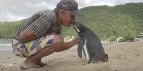 El pingüino nada 8 mil kilómetros cada año para reencontrarse con Souza. (Foto: Youtube)