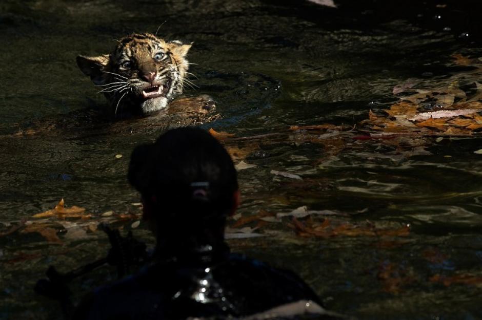 """Un cachorro macho de tigre, llamado Bandar, realiza su """"prueba de natación"""" en un foso de la gran exposición en el Zoológico Nacional de Washington, DC. Bandar es uno de los dos tigres de Sumatra nacido el 5 de agosto 2013, y antes de entrar en exhibición debe pasar la prueba de natación. Los cachorros deben ser capaces de mantener la cabeza fuera del agua, navegar por la parte menos profunda de la fosa, y tener la fuerza y la agilidad para subir a tierra firme por su cuenta. (Win McNamee/AFP)"""