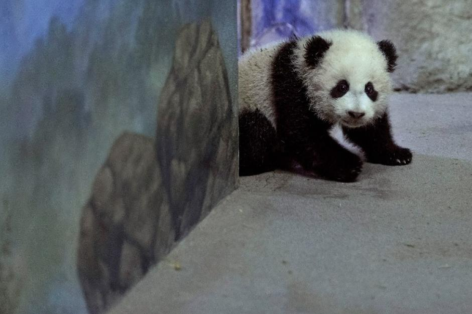 Cuando Bao Bao tenga dos años, será enviada a China para participar en un programa de reproducción. Foto AFP