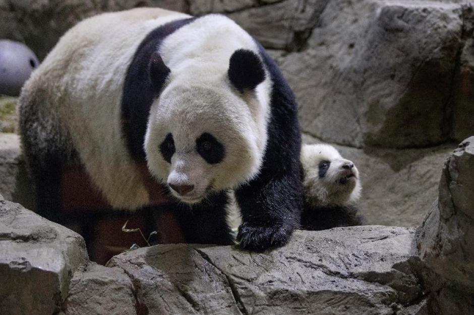 La madre de Bao Bao, Mei Xiang, dio a luz el 24 de agosto a otra bebé, pero murió al nacer. Foto AFP