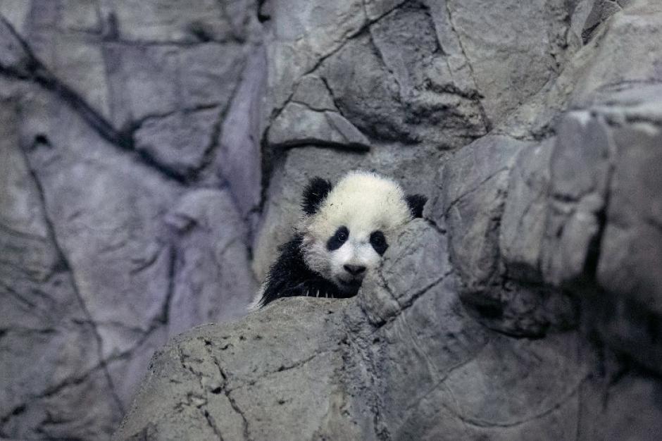 Más de 115.000 personas votaron para poner el nombre de Bao Bao a la bebé panda en la página web del zoológico. Foto AFP