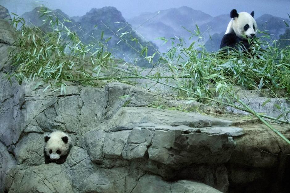 Bao Bao, la osezna de panda gigante nació el 23 de agosto en cautiverio, está dando sus primeros pasos y explorando poco a poco el hábitat en el popular zoológico del Smithsonian de Washington. Foto AFP