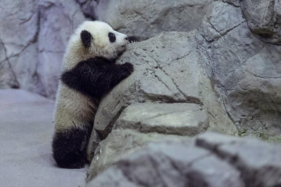"""Bao Bao en chino quiere decir """"Tesoro"""" o """"Preciosa"""", y este lunes 6 de enero fue mostrada al público. Foto AFP"""