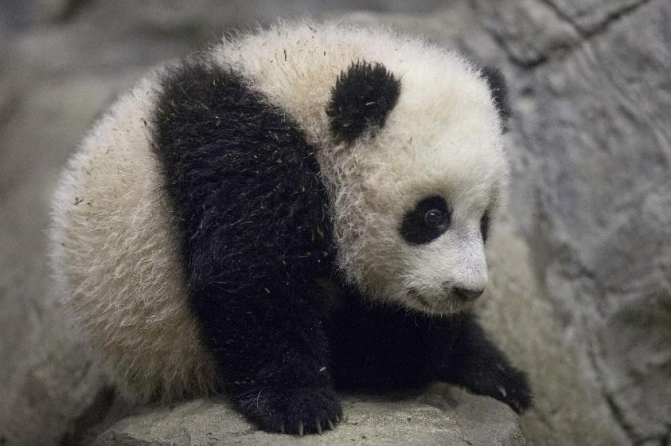 El 22 de noviembre, Bao Bao pesaba cerca de 5 kilos y reaccionaba ante los ruidos, según personeros del Zoológico de Washington. Foto AFP