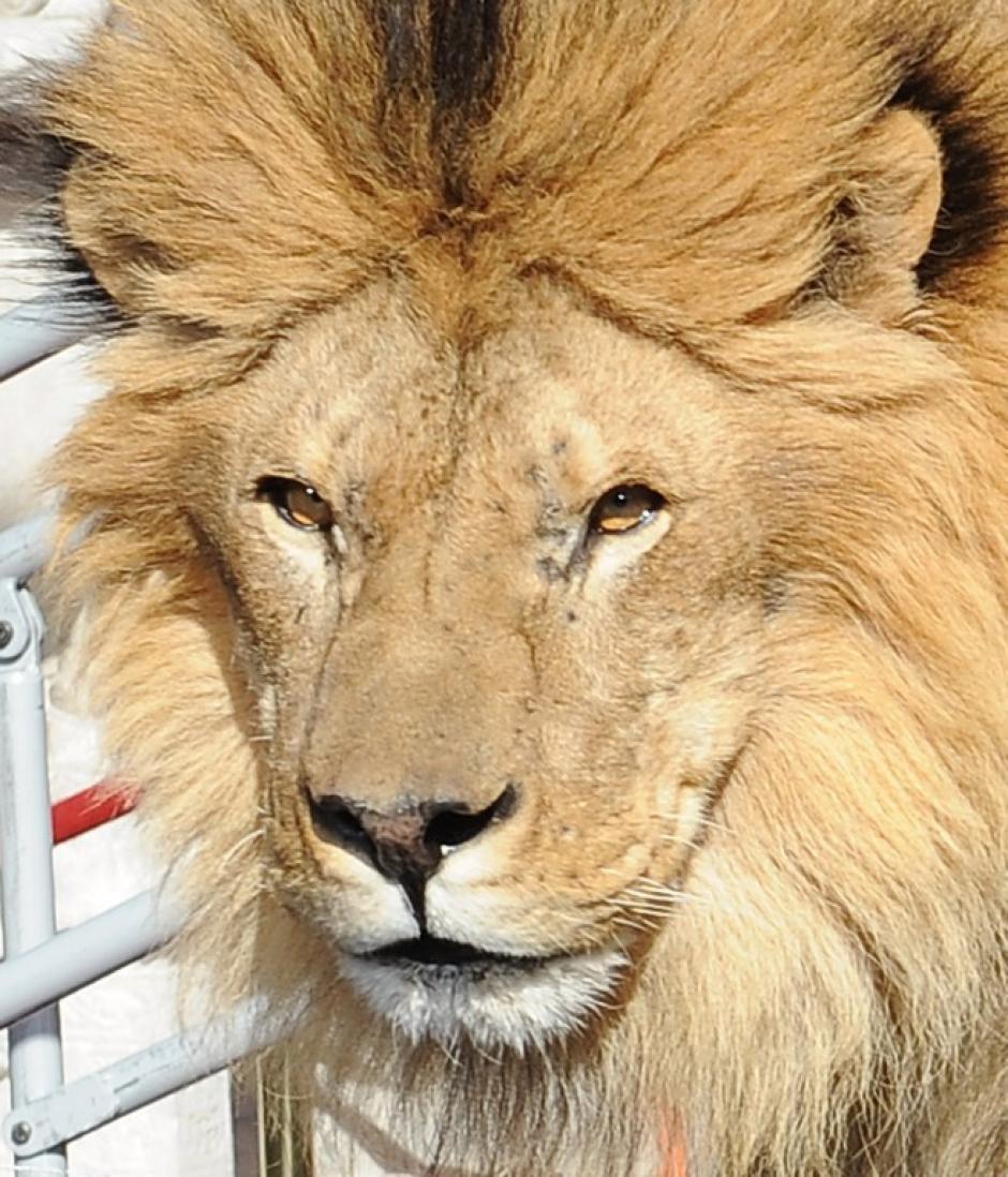 Leo fue presentado durante la ceremonia de aniversario de los estudios MGM. Foto AFP