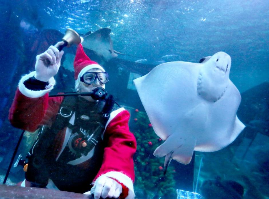 Un Santa Claus marino suena una campana al lado de una mantarraya en el acuario Sea Life de Berlín, en la foto del 3 de diciembre tomada por la fotógrafa de AFP Stephanie Pilick.