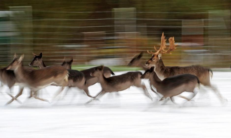 Ciervos y venados corren a través de una pradera cubierta de nieve en Neustadt am Ruebenberge en Alemania, en la foto del 9 de diciembre de 2013, tomada por el fotógrafo de AFP Alexander Karner.
