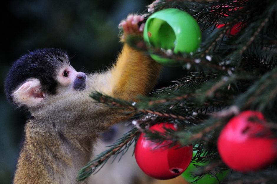 Un mono ardilla come de los adornos de navidad de árboles llenos de gusanos de seda y los grillos en el zoo de Londres, Inglaterra, en la foto del 18 de diciembre tomada por Carl Court fotógrafo de AFP.