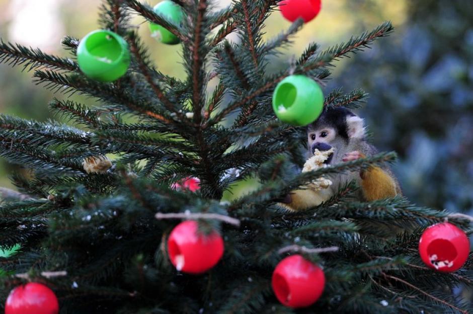 Un mono ardilla come de los adornos de Navidad llenos de gusanos de seda y grillos, en el Zoo de Londres. (Foto: AFP)