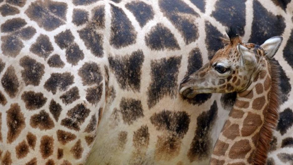 Esta es la nueva cría de jirafa Gusti, que nació en el zoológico de Leipzig el 24 de enero de 2014. Foto AFP