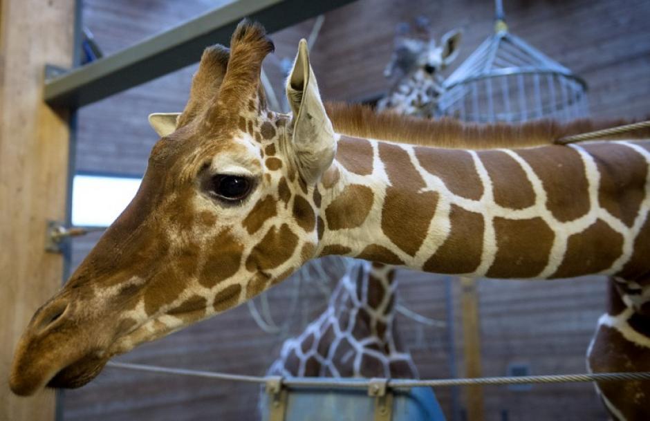 Decenas de campañas online se conformaron a nivel mundial para salvar la vida de la jirafa