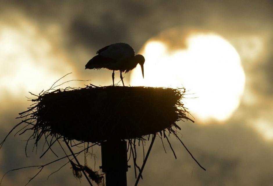 Una cigüeña en su nido se puede observar en la localidad de Sandershausen en el oeste de Alemania. Estas aves forman parte de la migración propia de la finalización de la época de invierno. Sin embargo los expertos afirman que esta vez regresaron más temprano a sus nidos. Foto AFP