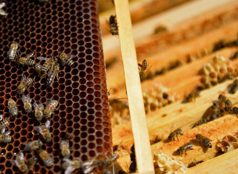 Pese a la ausencia de estudios científicos que demuestren los efectos positivos del veneno de abeja y al escepticismo de la medicina clásica, muchos pacientes en todo el mundo alaban este método alternativo. (Foto: AFP/DANIEL MIHAILESCU)