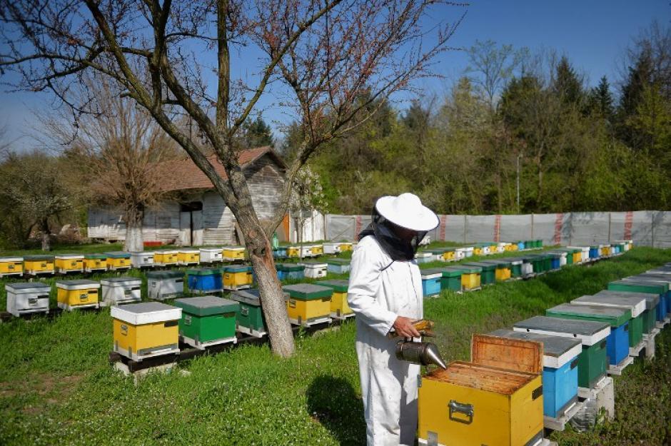 En 2013, la universidad estadounidense de San Luis, Missouri, publicó un estudio sobre la eficacia de la melitina (toxina que contiene el veneno de abeja) en los tratamientos contra el virus del sida. (Foto: AFP/DANIEL MIHAILESCU)
