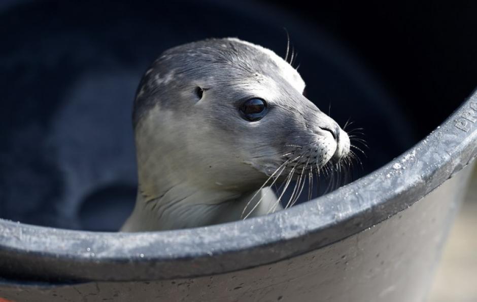 Una foca hallada el pasado 28 de mayo en la isla de Sylt explora su nuevo hogar en el refugio para focas de Friedrichskoog (Alemania). La cría fue llamada Anja en honor de su descubridora y pesa 7,6 kilos y será puesta en libertad cuando pese 25 kilos. En la fotografía del día tomada por Carsten Rehder de AFP.