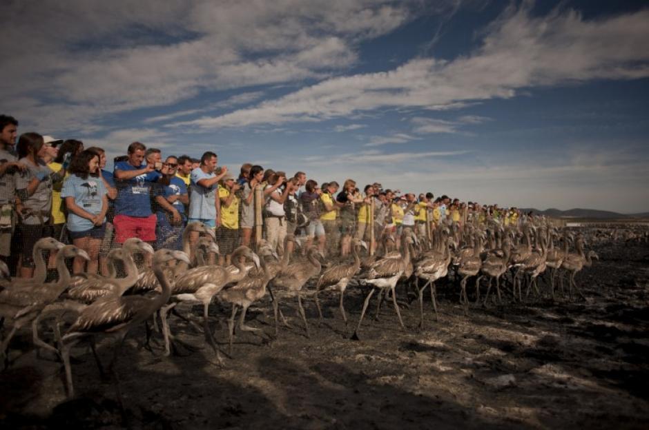Los voluntarios observan polluelos de Flamenco que son liberados en el lago Piedra de Fuente, a 70 kilómetros de Málaga, España, después de una operación de etiquetado y control para vigilar la evolución de la especie. El lago, que es el caldo de cultivo más importante para los flamencos en la Península Ibérica, es también una reserva natural y un paraíso para las aves, con más de 170 especies diferentes. (Foto: AFP / JORGE GUERRERO)