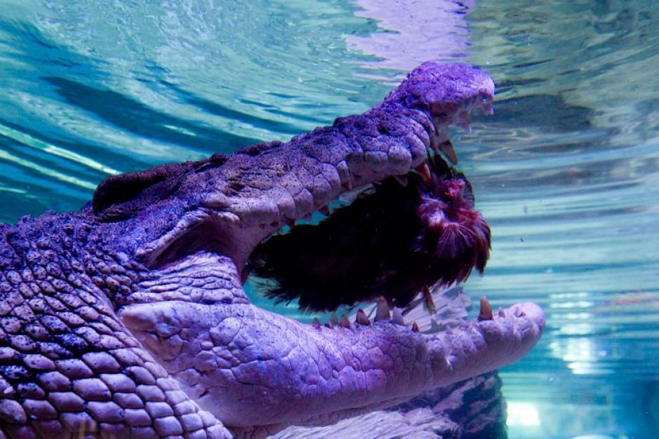 Pinjarra, un cocodrilo de 5 metros, es alimentado durante la fiesta de Navidad del Sea Life en Melborune, Australia, en la foto del 19 de diciembre tomada por los cuidadores del parque. El gigantesto animal pasará su primera Navidad en el parque acuático y ha atraído a miles de visitantes.