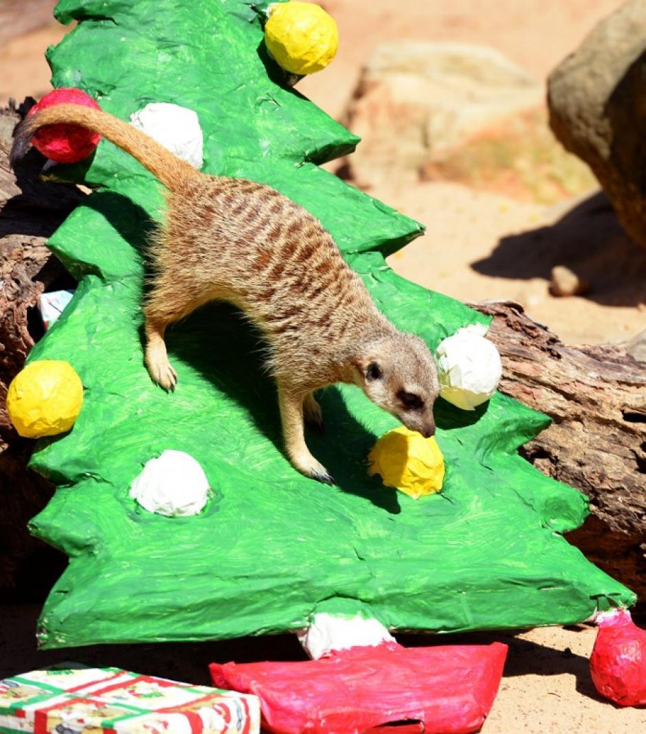 Una suricata sube por un árbol de Navidad colocado en el zoológico de Taronga de Sydney, Australia. (AFP)